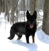 German Shepherd - Eddy von Zomboch at Coldstream Conservation Area, Coldstream, Ontario, Canada
